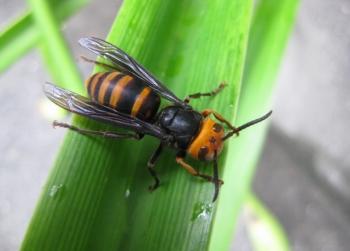 コガタスズメバチとアマリリスの葉