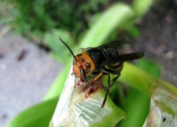 アマリリスの葉をかじるコガタスズメバチ3