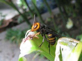 アマリリスの葉をかじるコガタスズメバチ1
