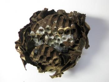 コガタスズメバチの空巣