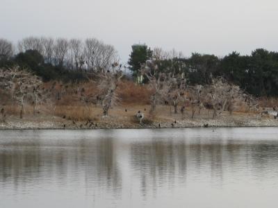 昆陽池の人工島の川鵜