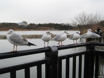 昆陽池で泳ぐ水鳥たち