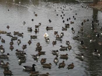 昆陽池に飛来の水鳥たち