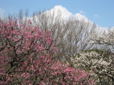 自然文化園の梅と雲