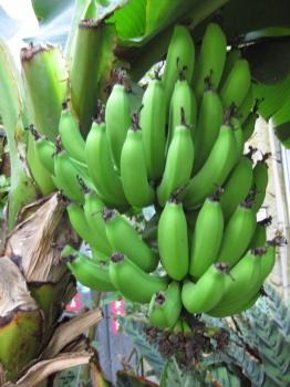 チョウ温室で実っているバナナ