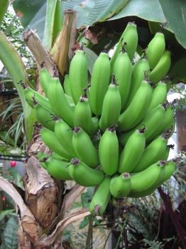 チョウ温室で実っているバナナまだ緑色