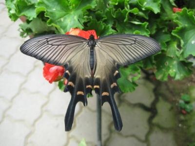 花の蜜を吸うジャコウアゲハ1