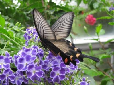 花の蜜を吸うジャコウアゲハ2