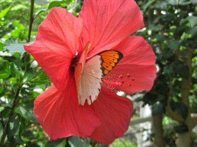 花の蜜を吸っているツマベニチョウ4,5月7日撮影