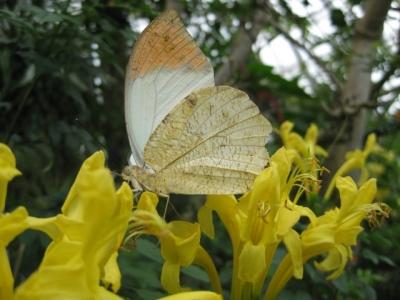 花の蜜を吸っているツマベニチョウ3,5月7日