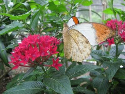 花の蜜を吸っているツマベニチョウ2,5月7日
