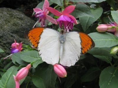花の蜜を吸っているツマベニチョウ1,5月7日