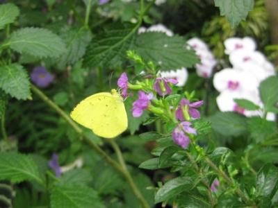 花の蜜を吸うキタキチョウ