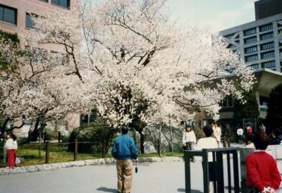 20年前の石割桜