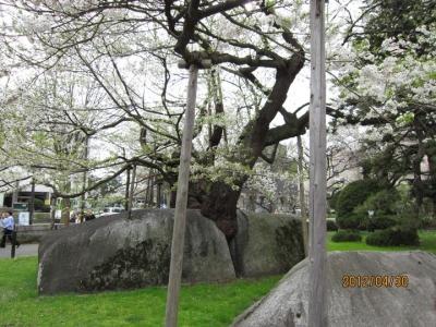 石割桜の背面
