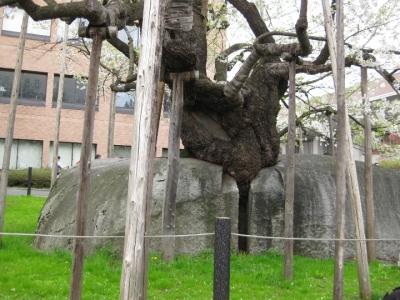 石割桜の根元