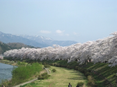 桧木内川堤の桜並木1