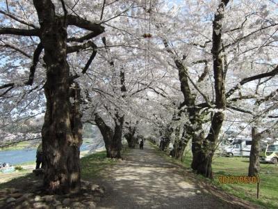 桧木内川堤の桜並木3
