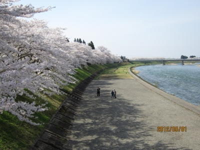 桧木内川堤の桜並木2