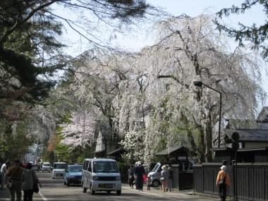 武家屋敷通りのしだれ桜9