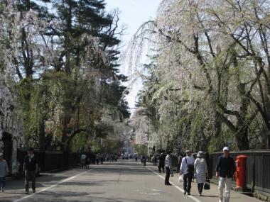武家屋敷通りのしだれ桜8