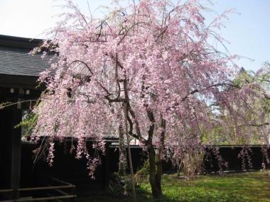 武家屋敷通りのしだれ桜5