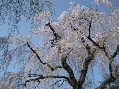 武家屋敷通りのしだれ桜2