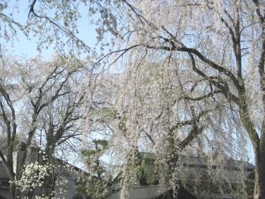 武家屋敷通りのしだれ桜10