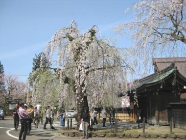 武家屋敷通りのしだれ桜6