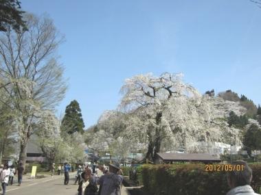 武家屋敷通りのしだれ桜3