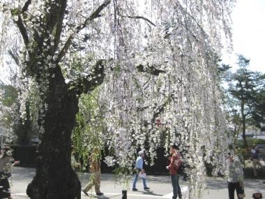 武家屋敷通りのしだれ桜7