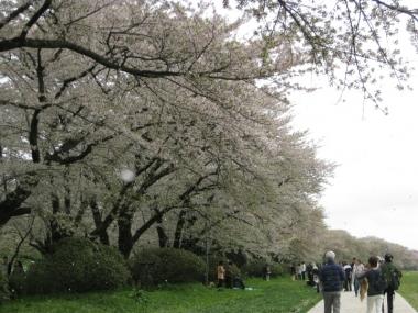 北上展勝地・桜のトンネル、花吹雪