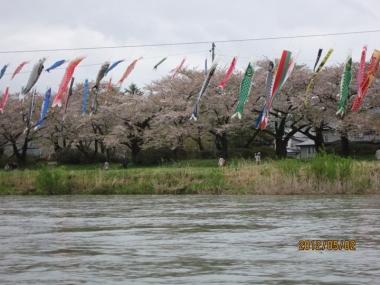 北上展勝地・桜のトンネル、北上川の鯉のぼり
