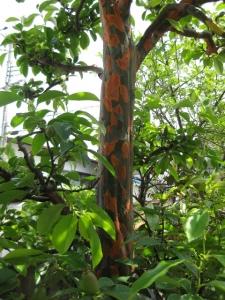脱皮中のカリンの木4