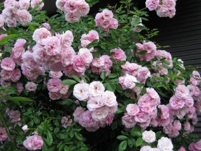 つるバラ-春霞 3