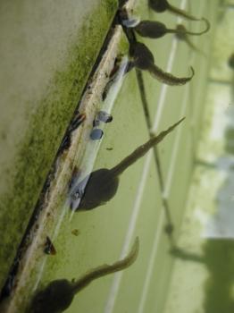 モリアオガエルのオタマジャクシ集合