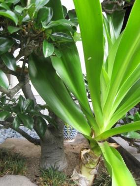 発芽から3年目のハマユウ、根元