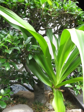 発芽から3年目のハマユウ、葉
