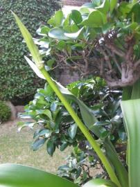 茎を斜めに伸ばしたハマユウ
