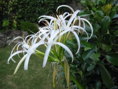 朝のハマユの花