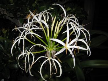 夜のハマユウの花