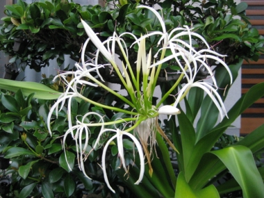 ハマユの花の蕾