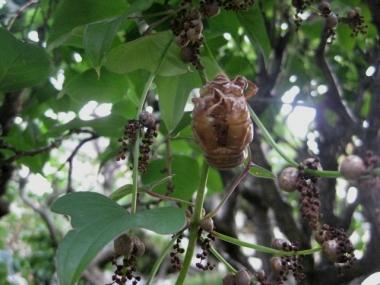 山の芋の茎にぶら下がった空蝉