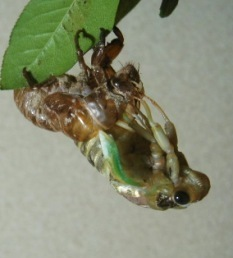 蝉に羽化2