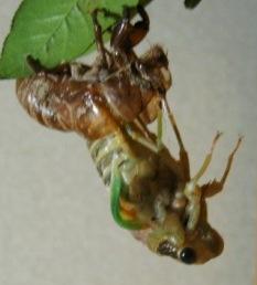 蝉の羽化3