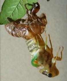 蝉の羽化4