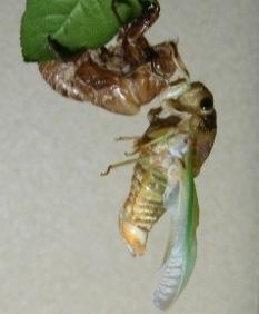 蝉の羽化11