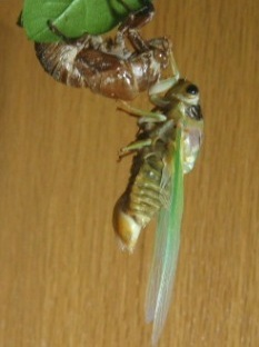 蝉の羽化12