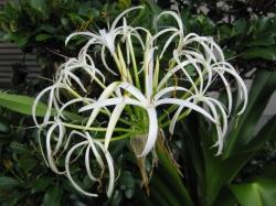 ハマユウの花1