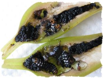 切り開いたハマユウの実,汚い幼虫がいる